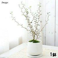 メルヘンの木 ソフォラ リトルベイビー 陶器鉢植え もえS WH(1鉢) 受け皿付き 北海道冬季発送不可