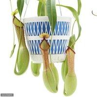 ウツボカズラ ネペンテス 品種不明 吊り鉢タイプ 5号(5鉢)