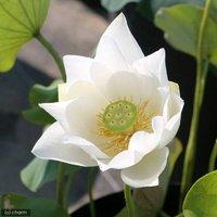 蓮 ハス(白) 白花蓮(シロバナハス)(1ポット)植替え済