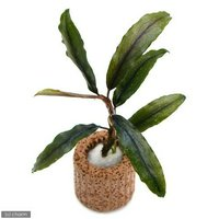 ライフマルチ(茶) ブセファランドラsp.クアラクアヤン1(無農薬)(1個)