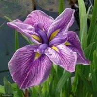 水辺植物 花菖蒲 夢の泉(ユメノイズミ)肥後系紫筋六英花(1ポット)