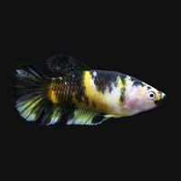 鯉ベタハーフムーンプラカット コイカラー メス(黄色系)(3匹)