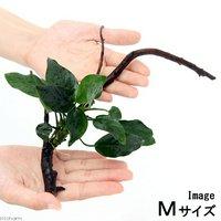アヌビアスナナ 枝状流木付 Mサイズ(1本)(20cm~)