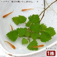 水辺植物 ヒメビシ(1株) 浮葉植物