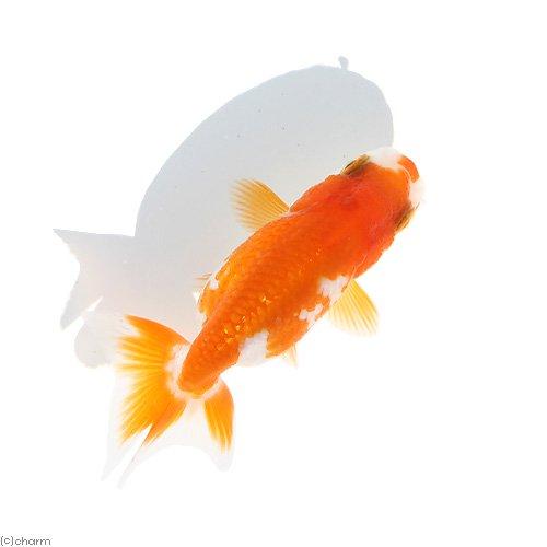 (国産金魚)伊勢らんちゅう 素赤〜更紗(イセランチュウ)(1匹) 北海道航空便要保温