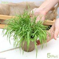 長さで選べる スーダングラス 直径8cmECOポット植え(長め)(無農薬)(5ポット)