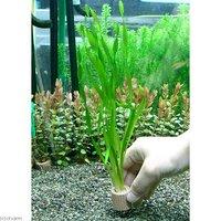 ライフマルチ(茶) スクリューバリスネリア(無農薬)(2個)