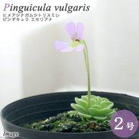 ヒメアシナガムシトリスミレ ピンギキュラ エセリアナ 2号(1鉢)