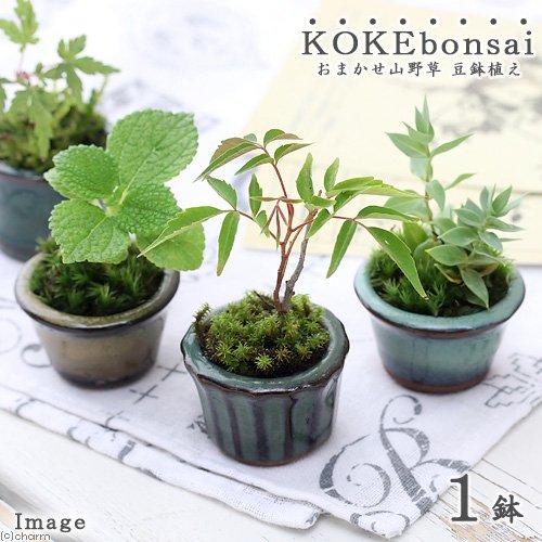 (観葉)苔盆栽 おまかせ山野草 豆鉢植え(1鉢)