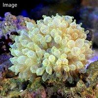 サンゴイソギンチャクsp. スターダスト Mサイズ(1匹)無脊椎動物