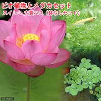 (めだか)ビオ植物とメダカセット 大賀蓮(オオガハス) 鉢なしセット
