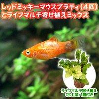 (水草)レッドミッキーマウスプラティ(4匹) + ライフマルチ(茶) 寄せ植えミックス(水上葉) 1個