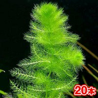 メダカ金魚藻 ウトリクラリア アウレア(ノタヌキモ)(無農薬)(20本)