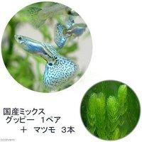 (水草)国産ミックスグッピー(1ペア)+マツモ(3本)