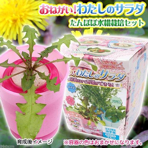 アウトレット品 うさちゃん喜ぶ! たんぽぽ水耕栽培セット 種子付き 容器色おまかせ 家庭菜園 訳あり