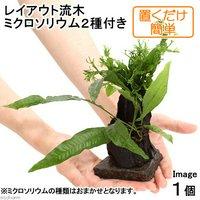 置くだけ簡単 レイアウト流木 ミクロソリウム2種付(1個)