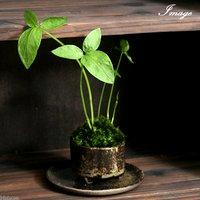 苔盆栽 おまかせ益子焼鉢植え カラスビシャク(半夏) 丸型 小(1鉢)