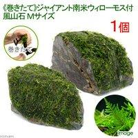 巻きたて ジャイアント南米ウィローモス 風山石 Mサイズ(約14cm)(無農薬)(1個)