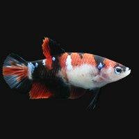 鯉ベタハーフムーンプラカット コイカラー メス(赤系)(3匹)
