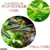 (水草)パイロットフィッシュプランツセット アカヒレS(10匹)+ハイグロポリスペルマ(水上葉10本)