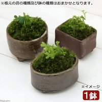 苔盆栽 益子焼鉢植え クラマゴケ 鉢おまかせ(1鉢)