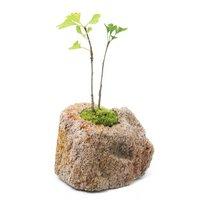 苔盆栽 抗火石鉢植え イチョウ 2本入り Sサイズ(1鉢)