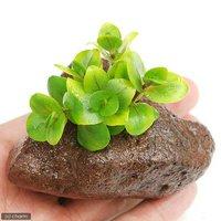 アラグアイア レッドバコパ(水上葉) 穴あき溶岩石付(無農薬)(1個)