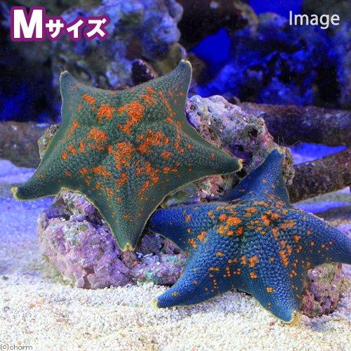 (海水魚 ヒトデ)イトマキヒトデ おまかせカラー Mサイズ(1匹) 北海道・九州航空便要保温