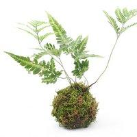 苔玉 ハカタシダ(博多羊歯)(1個)観葉植物 コケ玉