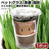 種まき済み ペットグラス(燕麦)栽培 ECOポット(1ポット)