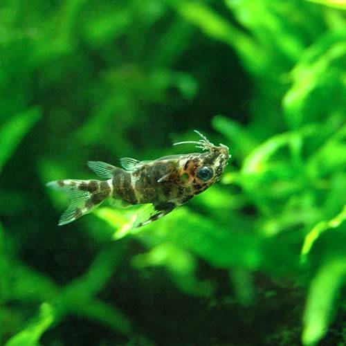 (熱帯魚)サカサナマズ(3匹) 北海道・九州・沖縄航空便要保温