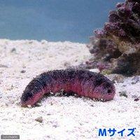 ナマコ アカミシキリ Mサイズ(1匹)