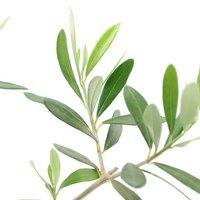 果樹苗 オリーブの木 エルグレコ 5号(1鉢) 家庭菜園 北海道冬季発送不可