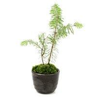 苔盆栽 トドマツ 穴有益子焼植木鉢(炭化)(1鉢)