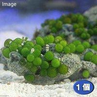 海藻 ミズタマ 石付き(1個)
