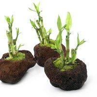 溶岩石鉢 テラ向け植物 和風寄せ植え(1個)