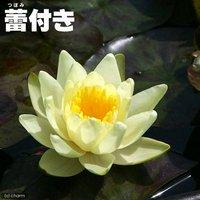 睡蓮 蕾付き 温帯性睡蓮(スイレン) 黄(1ポット)