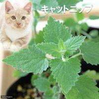 ハーブ苗 キャットニップ コモン 3号(1ポット) 猫草 家庭菜園