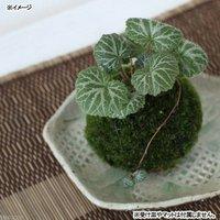 苔玉 ユキノシタ(1個) 観葉植物 コケ玉