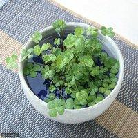 水辺植物  私の小さなアクアリウム ~シャリッと益子 DE 幸せムチカセット(足付深丼 白マット)~  (休眠株)