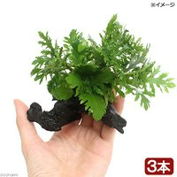 ウォーターウィステリア 流木付 SSサイズ(水上葉)(無農薬)(3本)(約10cm)