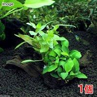 流木 ザ ボンサイ Ver.アヌビアス ナナプチ(1本)(約15cm)