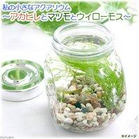 (水草)私の小さなアクアリウム アカヒレボトルセット ~マツモとウィローモス~(1セット)説明書付