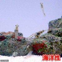 生餌 海洋性イサザアミ(0.5g)