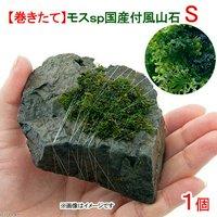 巻きたて モスsp.(国産)付 風山石 Sサイズ(約10cm)(無農薬)(1個)