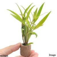 ライフマルチ(茶) ポリゴナムsp.レッド(水上葉)(無農薬)(1個)