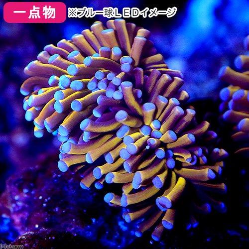 (サンゴ)一点物 オーストラリア産 ハナサンゴ イエロートーチ CM−12263(1個) 海水魚 沖縄別途送料  北海道・九州航空便要保温