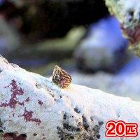 生餌 エサ用小型巻貝(チグサガイ ミックス) コケの掃除(20匹)