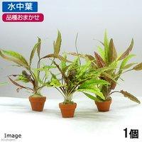 おまかせクリプトコリネ寄せ植えプチ素焼鉢(無農薬)(水中葉)(1個)