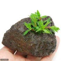 ニードルリーフ ルドウィジア(水上葉) 穴あき溶岩石付(無農薬)(1個)